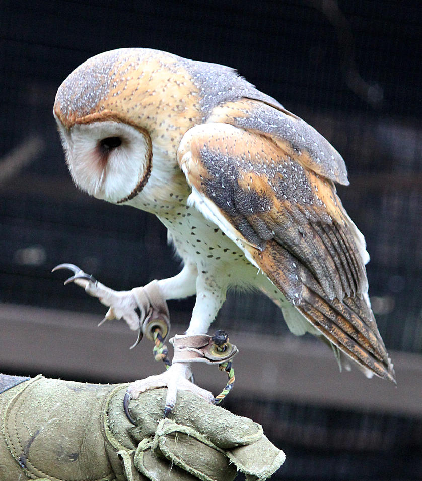 Owl Stock 17: Barn Owl by HOTNStock