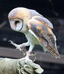 Owl Stock 17: Barn Owl