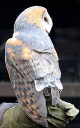 Owl Stock 18: Barn Owl