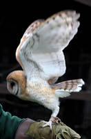 Owl Stock 20: Barn Owl