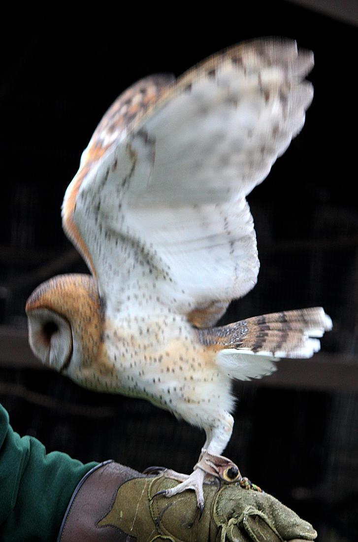Owl Stock 20: Barn Owl by HOTNStock