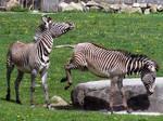 Zebra Stock 3