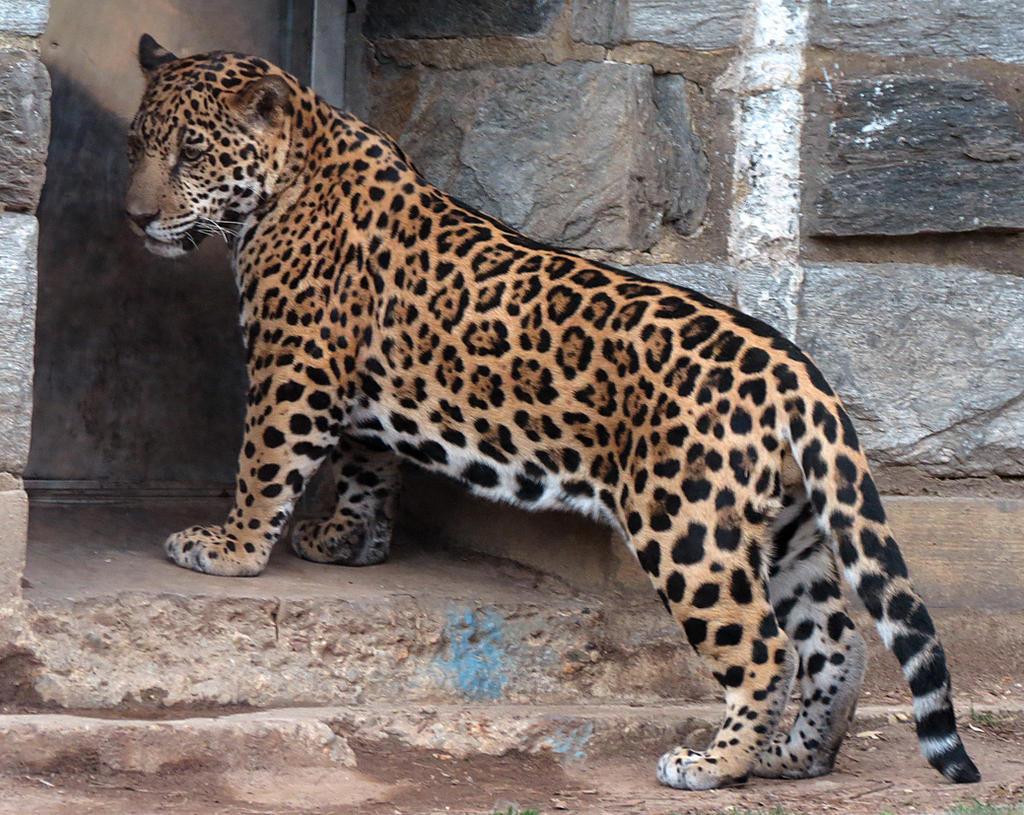 Jaguar Stock 3: Cub by HOTNStock