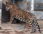Jaguar Stock 3: Cub