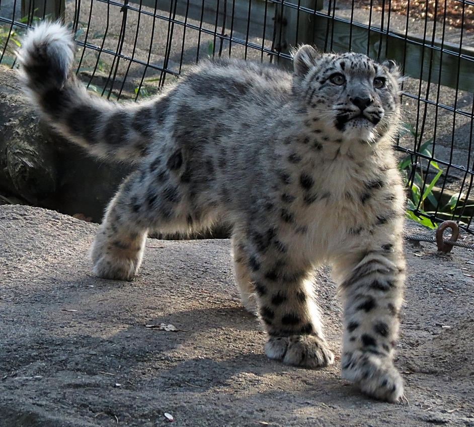Snow Leopard Stock 26: Cub by HOTNStock