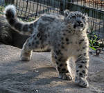 Snow Leopard Stock 26: Cub