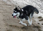 Dog Stock 4: Husky Running