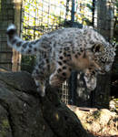 Snow Leopard Stock 27: Leaping Cub