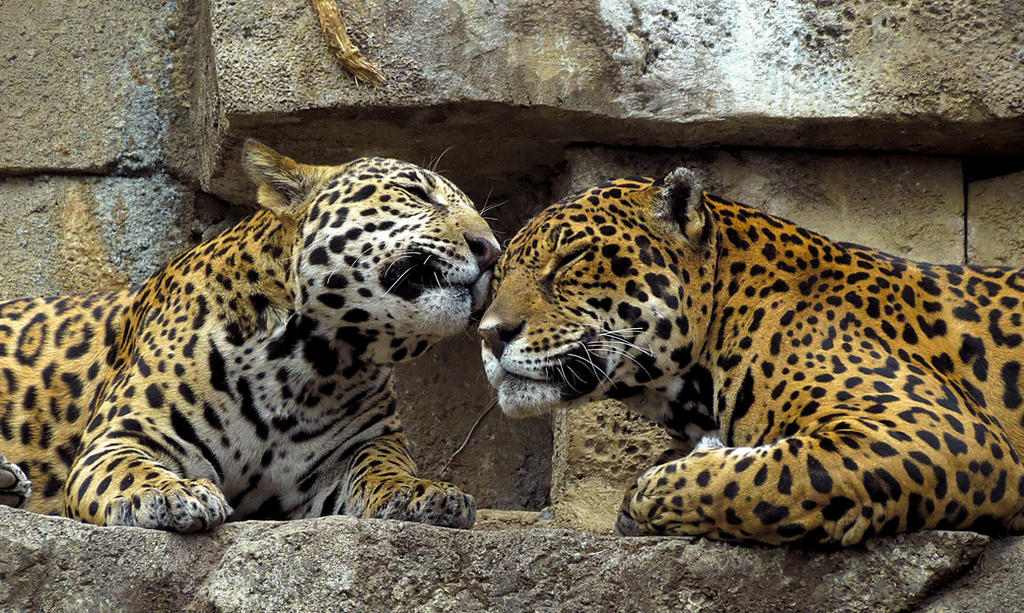 Jaguar Stock 4: Cub and Mother by HOTNStock