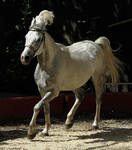 Arabian Horse Stock 1