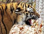 Amur Tiger Stock 16: Snarling Cub