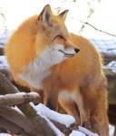 Red Fox Stock 7
