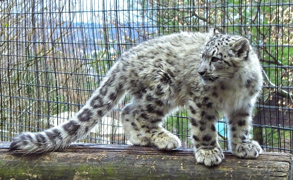 Snow Leopard Stock 29: Cub
