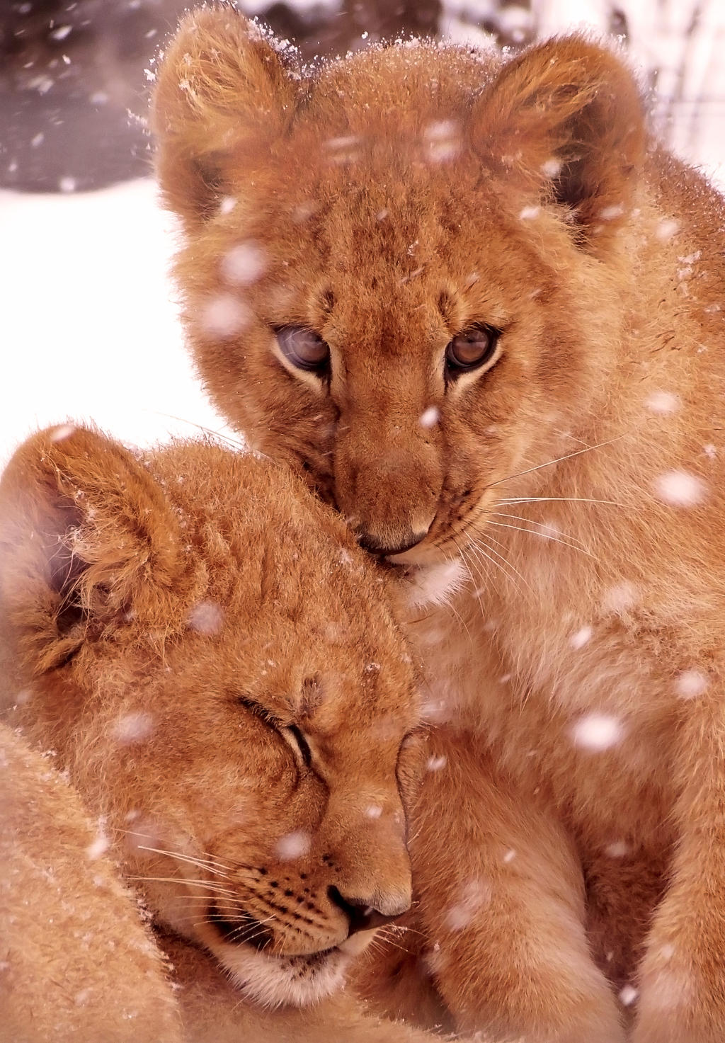 Lion Stock 39: Cubs by HOTNStock