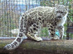 Snow Leopard Stock 30: Cub