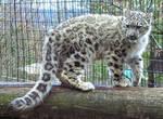 Snow Leopard Stock 30: Cub
