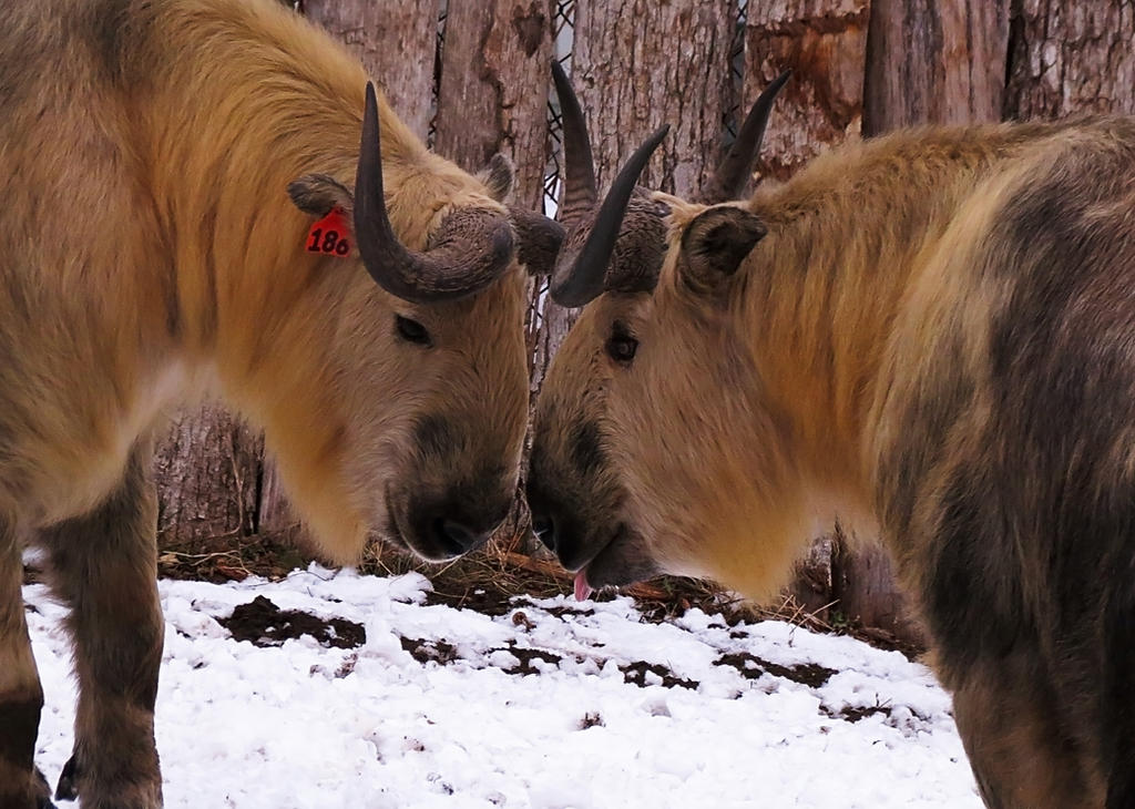 Sichuan Takin Stock 1 by HOTNStock