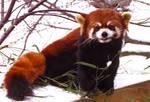 Red Panda Stock 5