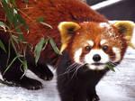 Red Panda Stock 6