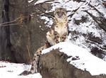 Snow Leopard Stock 32