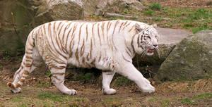 White Tiger Stock 3