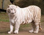White Tiger Stock 4