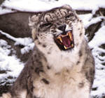 Snow Leopard Stock 33