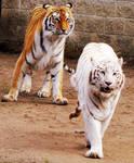 Bengal Tiger Stock 1