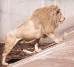White Lion Stock 6