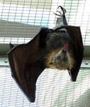 Bat Stock 2: Flying Fox