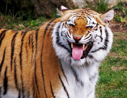 Bengal Tiger Stock 2: Scenting Behavior