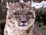 Snow Leopard Stock 34