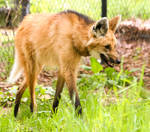 Maned Wolf Stock 4