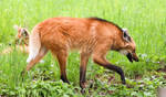 Maned Wolf Stock 6
