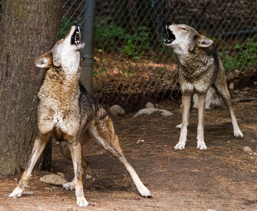 Red Wolf Howling Red Wolf Stock 67: How...