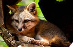 Gray Fox Stock 4
