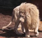 White Lion Stock 9