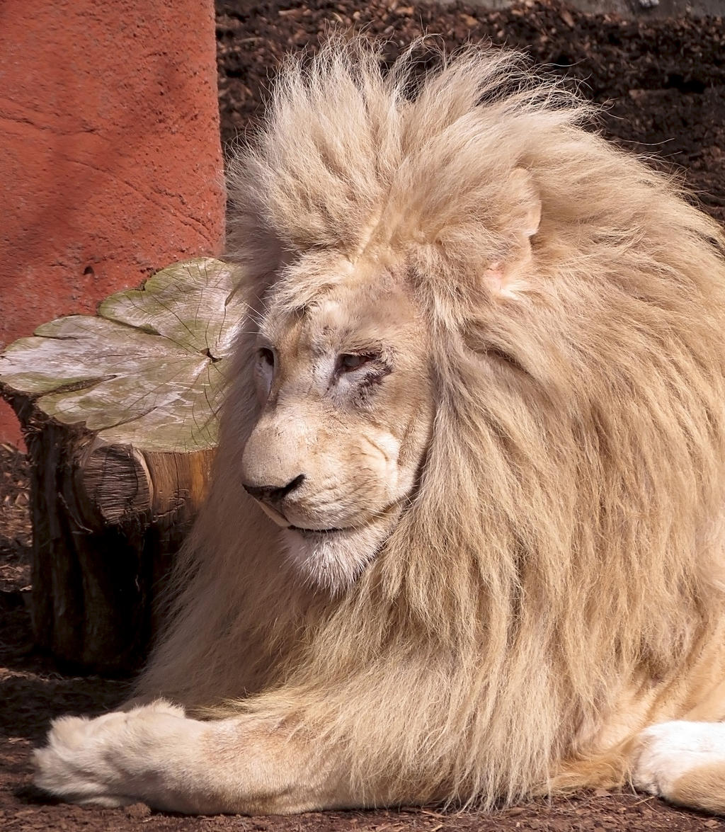 White Lion Stock 10 by HOTNStock