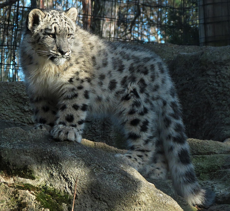 Snow Leopard Stock 35: Cub by HOTNStock