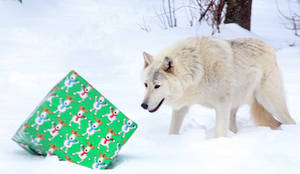 Gray Wolf Stock 16: Holiday