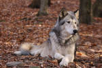 Gray Wolf Stock 17
