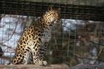 Amur Leopard Stock 21