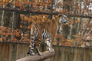 Amur Tiger Stock 21 by HOTNStock