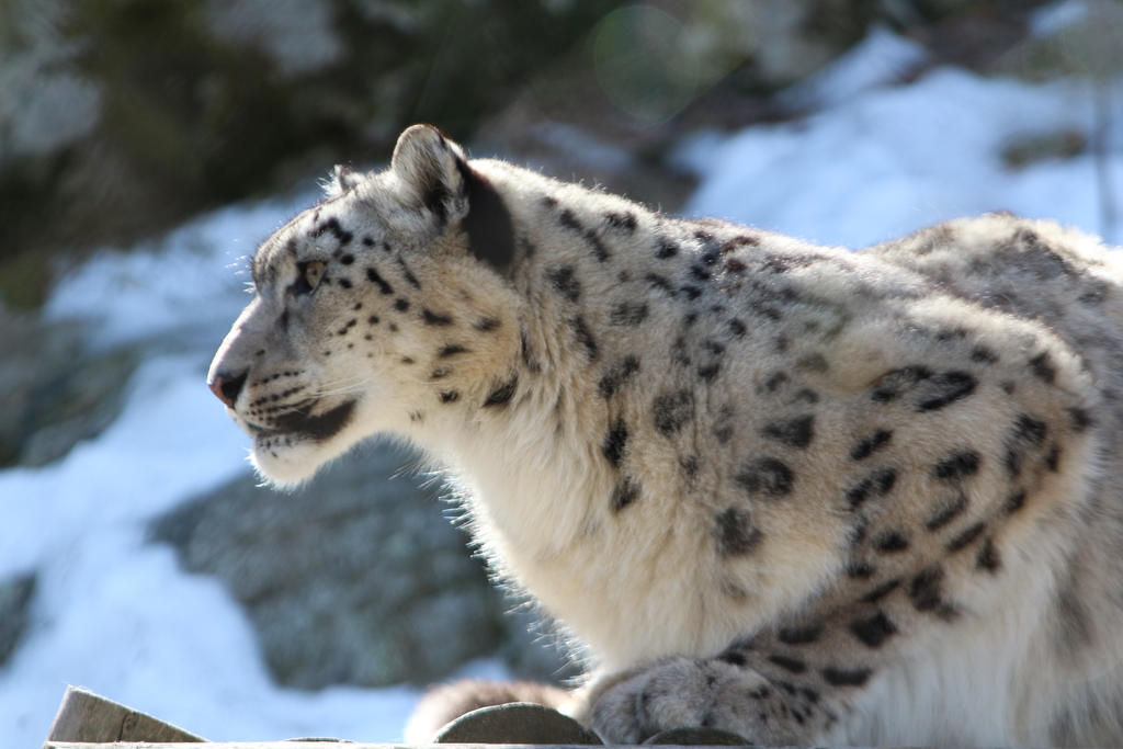 Snow Leopard Stock 37 by HOTNStock