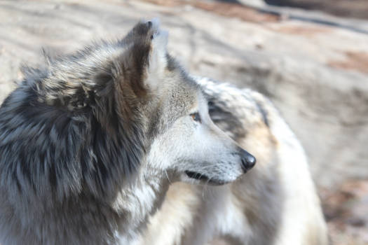 Mexican Wolf Stock 35