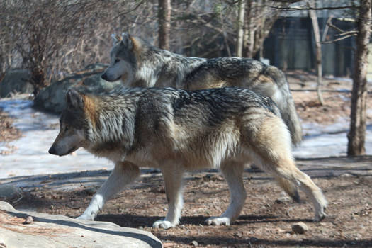 Mexican Wolf Stock 36
