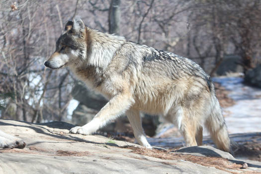 Mexican Wolf Stock 37