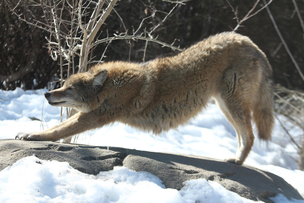 Coyote Stock 8: Stretch by HOTNStock