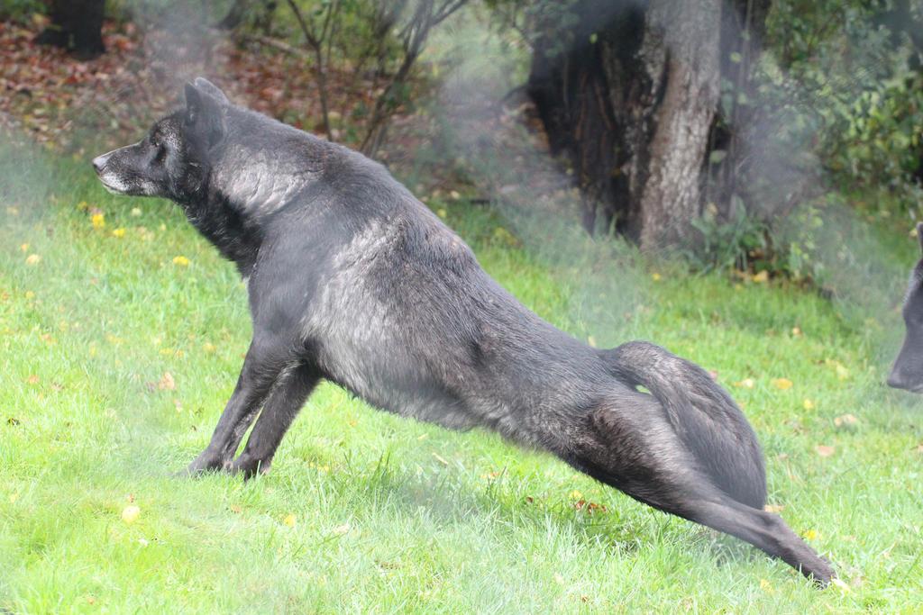 timber wolves size erkal jonathandedecker com