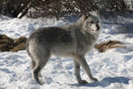 Gray Wolf Stock 29